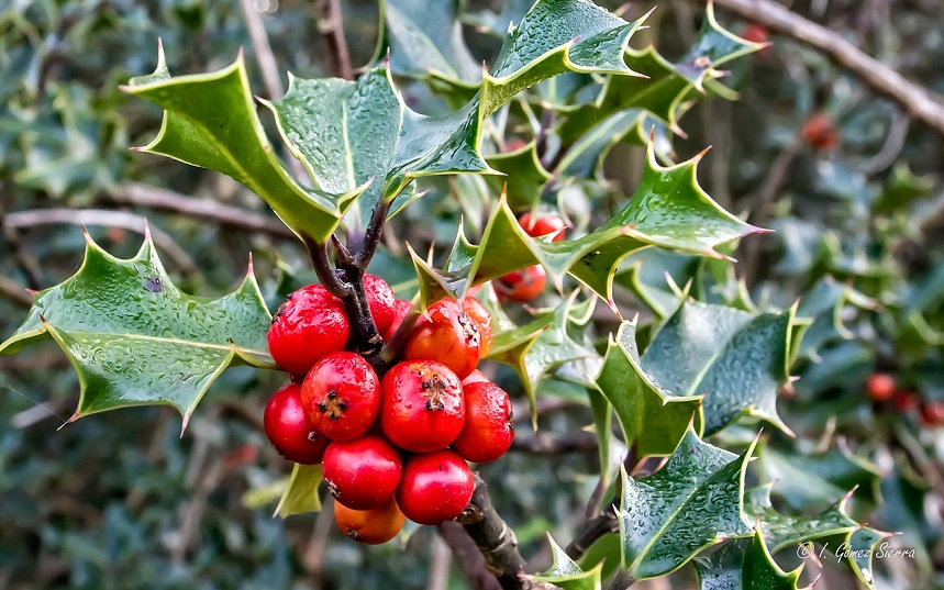 Evergreen holly for front of house landscaping services in Salt Lake City